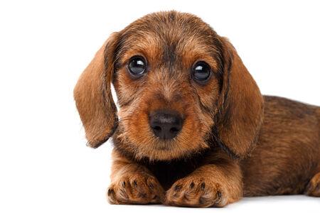 cur: cute little dachshund puppy on white background