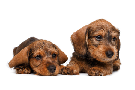 cur: cute little dachshund puppies on white background Stock Photo
