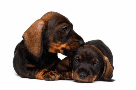 cur: Two Dachshund puppies lies on white background Stock Photo