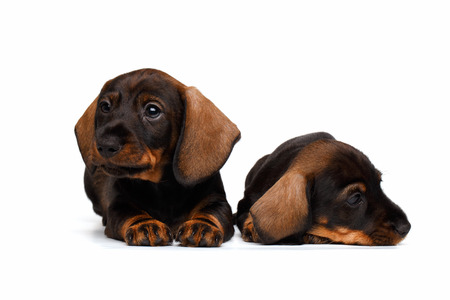 pity: Two Dachshund puppies lies on white background Stock Photo