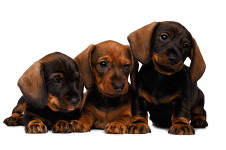 Three Dachshund puppies lies on white background