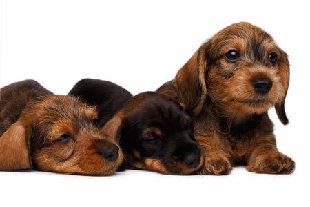 pity: Three Dachshund puppies lies on white background