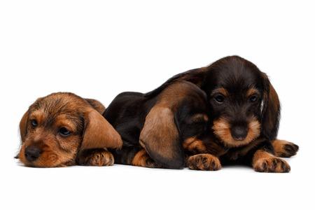 cur: Three Dachshund puppies lies on white background