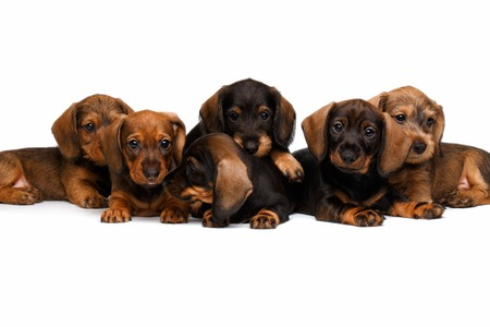 Six Dachshund puppies lies on white background