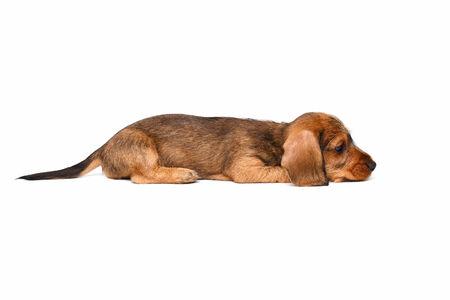 pity: cute little dachshund puppy on white background