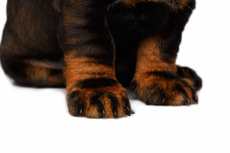 pity: paws dachshund puppies sitting on white background