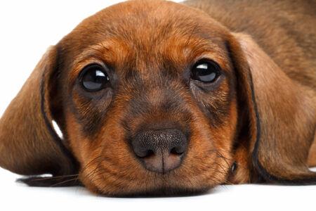 cur: close up Dachshund puppy on white background