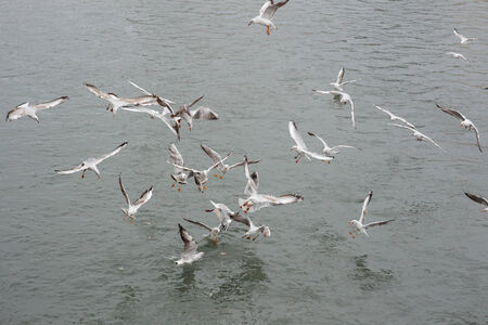 blanche: many seagulls fighting for the food in water Stock Photo