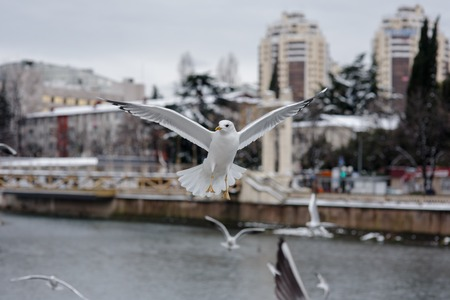 blanche: flying seagulls at city background in winter
