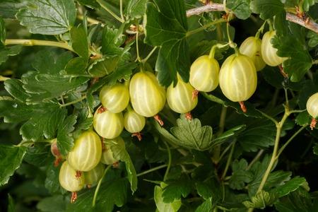 gooseberry bush: gooseberry Ribes uva-crispa, fruit on  bush in nature