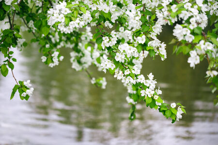 apple blossom: branches of blossom apple above water in nature Stock Photo