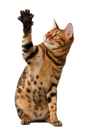 bengal cat raising up paw isolated on white background