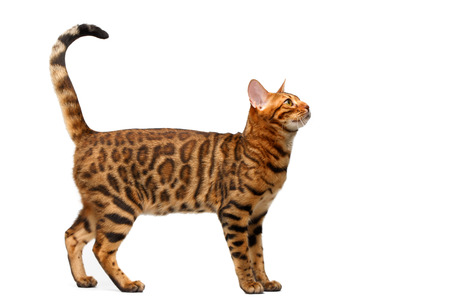 bengal cat standing isolated on white, side view