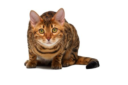 crouched: bengal cat  sitting and crouched on white background