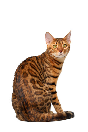 turned: bengal cat sitting back and turned on white background