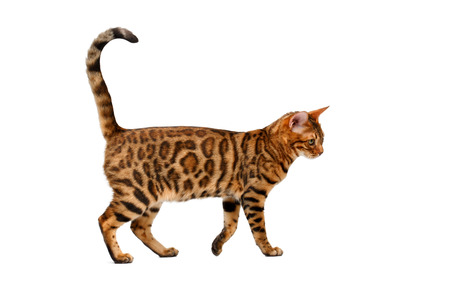 bengal cat walking on white, side view