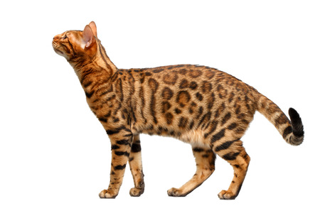 sniffing: bengal cat standing and sniffing on white, side view