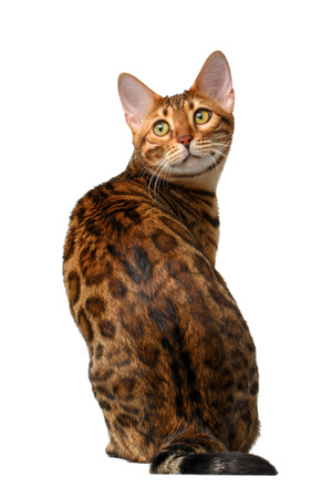 bengal cat sitting back and turned on white background