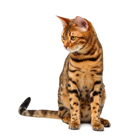 bengal cat sitting and looking down on white background Stock Photo