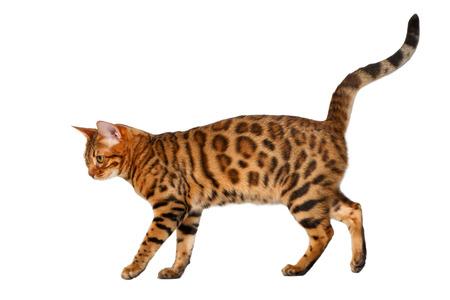 bengal cat walking on white, side view