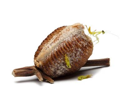 新しい生まれの木製カマキリと白い背景の卵ケース