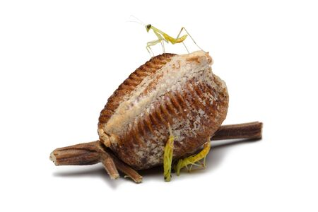 predatory insect: new born wood mantis and egg case on white background