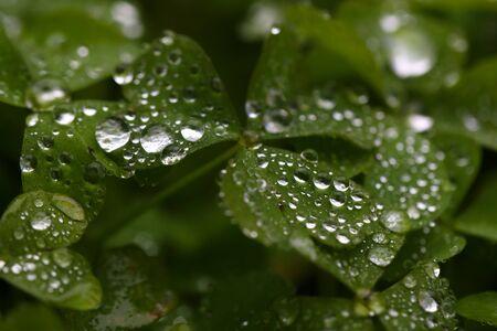 frescura: gotas de lluvia en frescura hojas verdes despu�s de la lluvia Foto de archivo