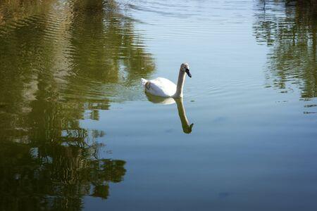 mute swan: White Mute Swan swim in parks pond