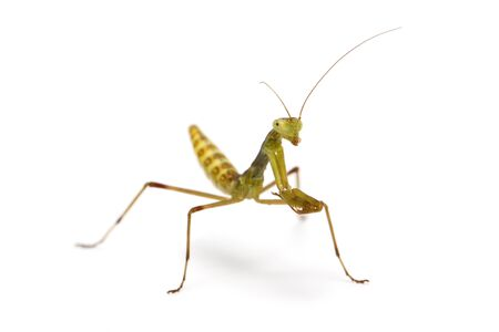 predatory insect: two weeks old wood mantis on white background