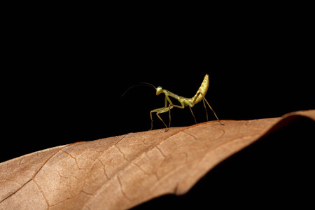cannibal: Praying Mantis - Mantis religiosa on leaves and black background