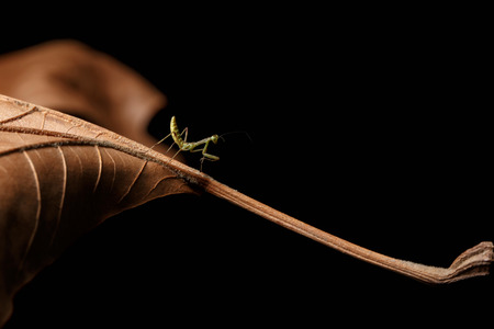 Praying Mantis - Mantis religiosa on leaves and black background Imagens - 38676433