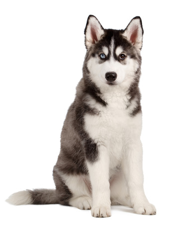 Siberische Husky puppy geïsoleerd op witte achtergrond