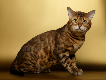 luxery: Bengal Cat sitting on Gold background and Looking in camera
