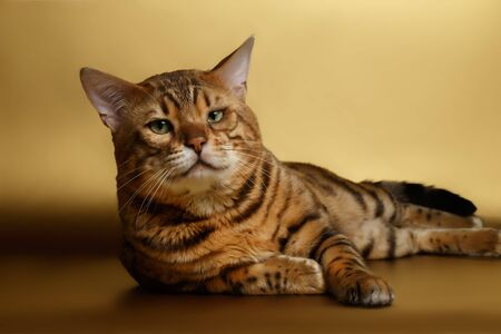 luxery: Bengal Cat lies on Gold background and Looking in camera