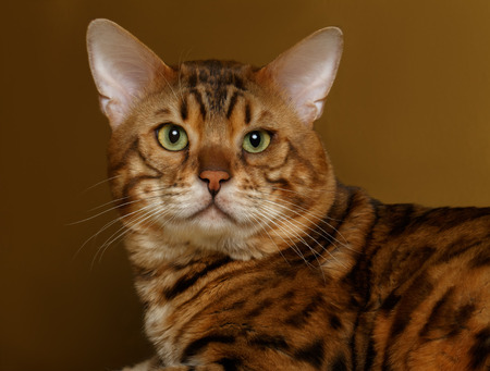 the young animal: Bengal Cat lies on Gold background and Looking in camera