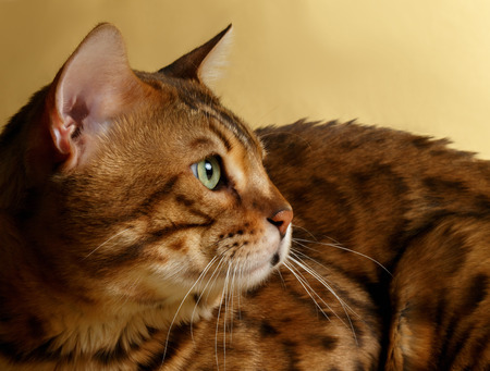 luxery: Closeup Profile Bengal Cat on Gold background Stock Photo