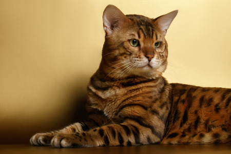 luxery: Bengal Cat lies on Gold background and Looking back