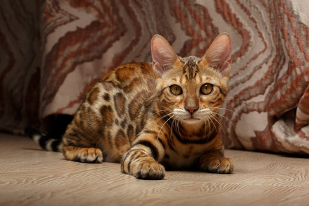 luxery: Closeup female Bengal Cat on a Floor