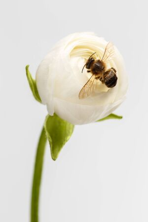 Closeup White Ranunculus Flower with Bee on White Background photo