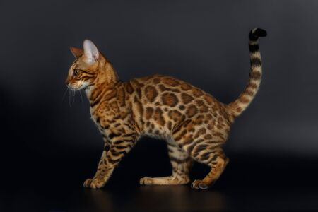 luxery: Side View Bengal Cat on Black Background