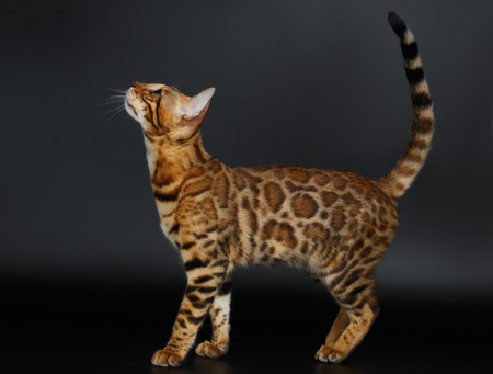 luxery: Side View Bengal Cat on Black Background Looking up Stock Photo