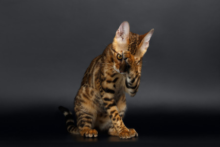 luxery: Closeup Bengal Cat Washes on Black Background