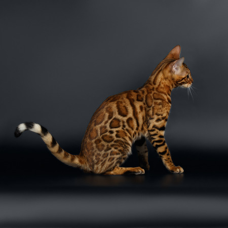 luxery: Closeup female Bengal Cat on Black Background