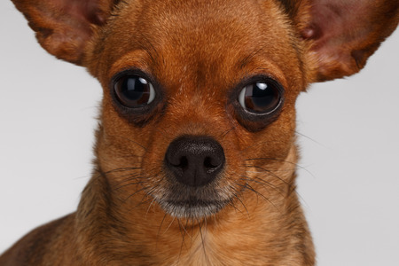 toy terrier: Close up Sadly Brown Toy Terrier on White Background