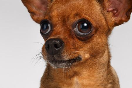 toy terrier: Close up Purtroppo Brown Toy Terrier su sfondo bianco