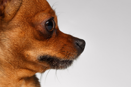 toy terrier: Close up profile Brown Toy Terrier on White Background