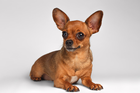 toy terrier: Brown Toy Terrier with big eyes Liying on White Background Stock Photo