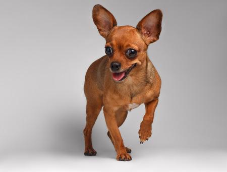 toy terrier: Sorridente Brown Toy Terrier con gli occhi grandi su sfondo bianco