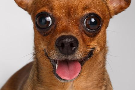 cerrar: Primer Sonreír Marrón Toy Terrier con grandes ojos en el fondo blanco Foto de archivo