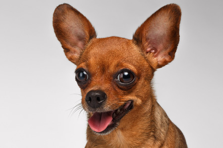 toy terrier: Closeup Smiling Brown Toy Terrier with big eyes on White Background